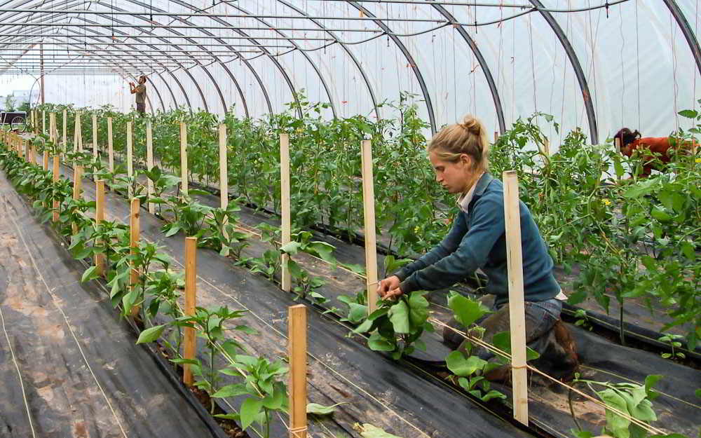 Cammie Harbottle, NFU Youth President, trellising Eggplant at Waldegrave Farm, Tatamagouche, NS.