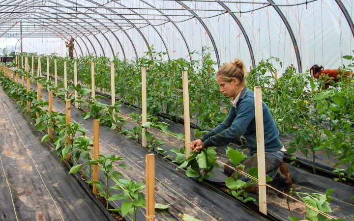 Cammie Harbottle, NFU Youth President, trellising Eggplant at Waldegrave Farm, Tatamagouche, NS.