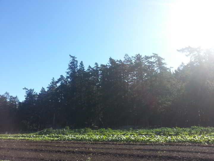 Twisted treetops of Sea Bluff Farm