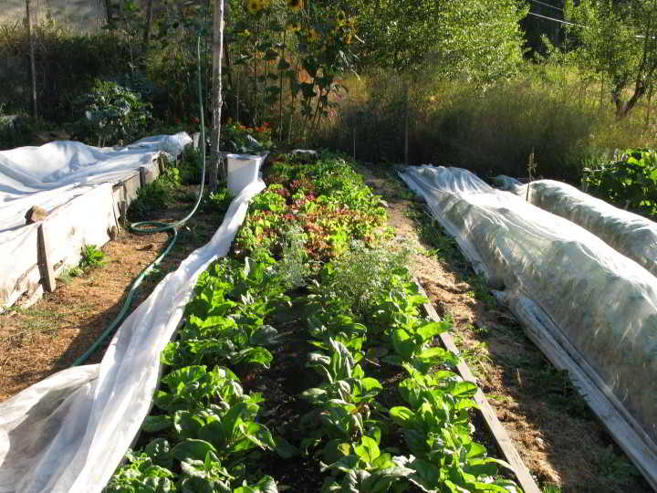 My greens operation in Rossland, B.C.: Terraced beds overcame the challenge of topography and floating row covers helped extend the growing season.