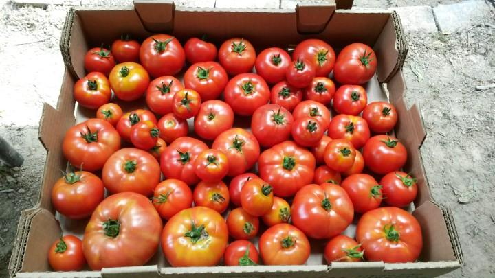Robin Sturley Tomatoes