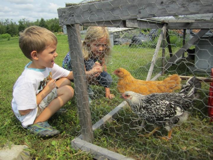 Zocalo Organics Ontario - Chickens