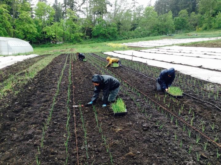 Square Root Farm onion dudes