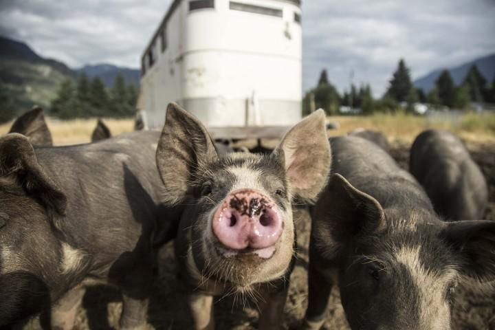 Pink Pig Snout at Plenty Wild Farm