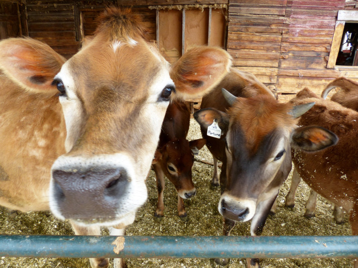 Tawny jersy Cows Interested in the Kootenay Co-op True North Supplier Event