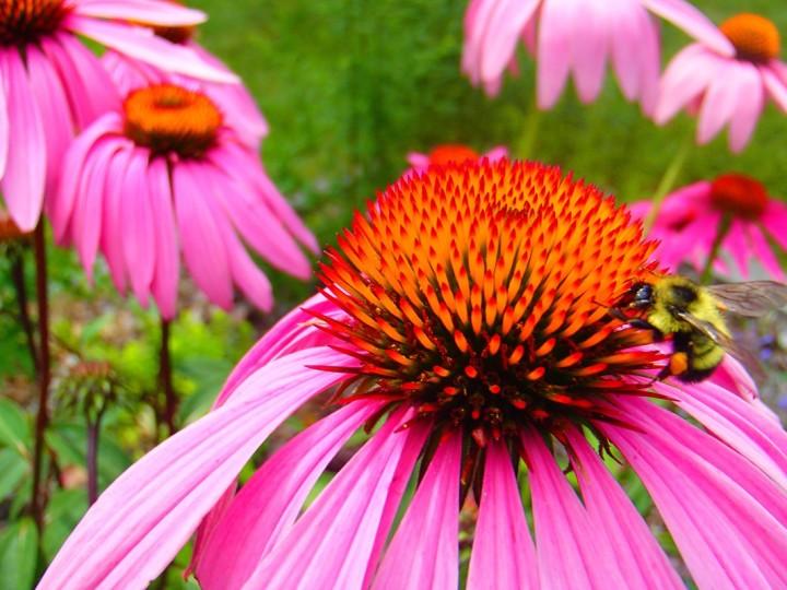 bee glade bumblebee