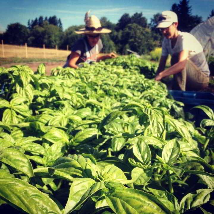 Zaklan Heritage Farm hands transplanting organic basil at their farm job