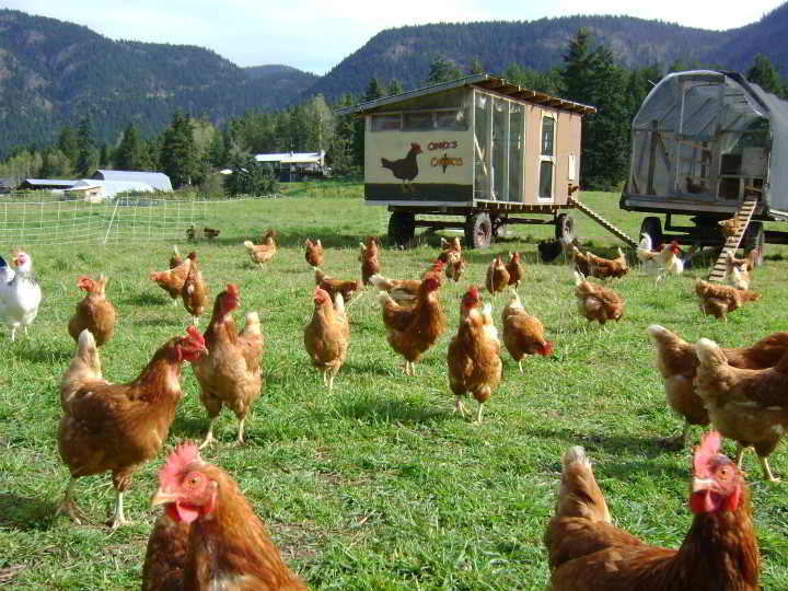 Pasture poultry enjoying a sunny day.