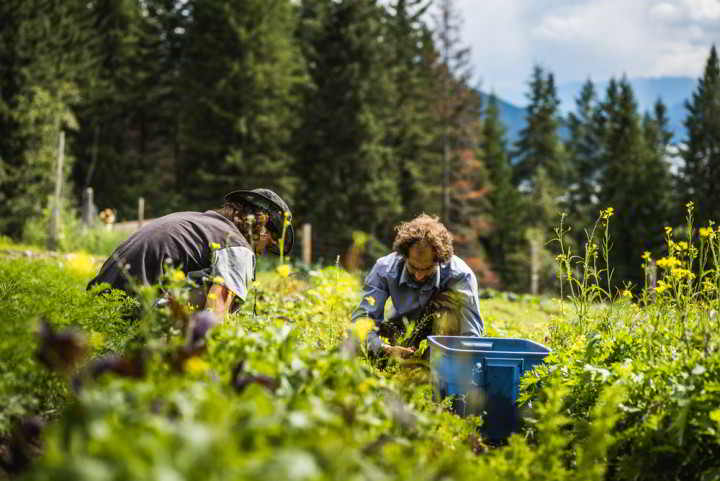 Two organic farm apprentices harvest in the fields at Earth Temple Gardens