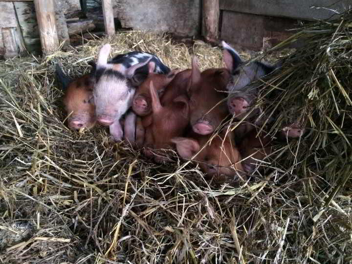 Fresh Valley Farms piglets