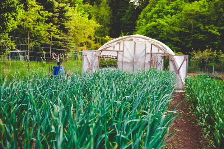 Organic farmer minding garlic beds in front of a greenhouse at Halliburton Incubator Farm in Victoria BC