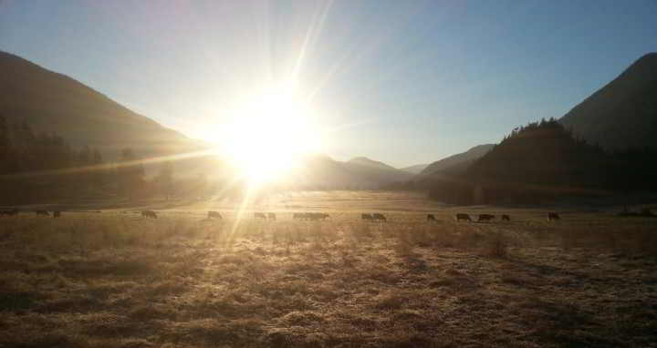 morning light over lillooet valley warms herd of spray creek ranch cattle