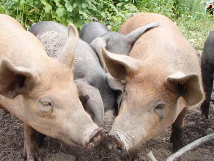 Piggy Snouts at Golden Ears Farm