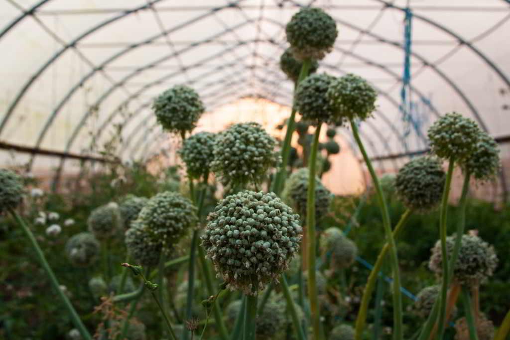 Leek seed heads at Amara Farm, Comox Valley, BC. Credit: Michelle Root