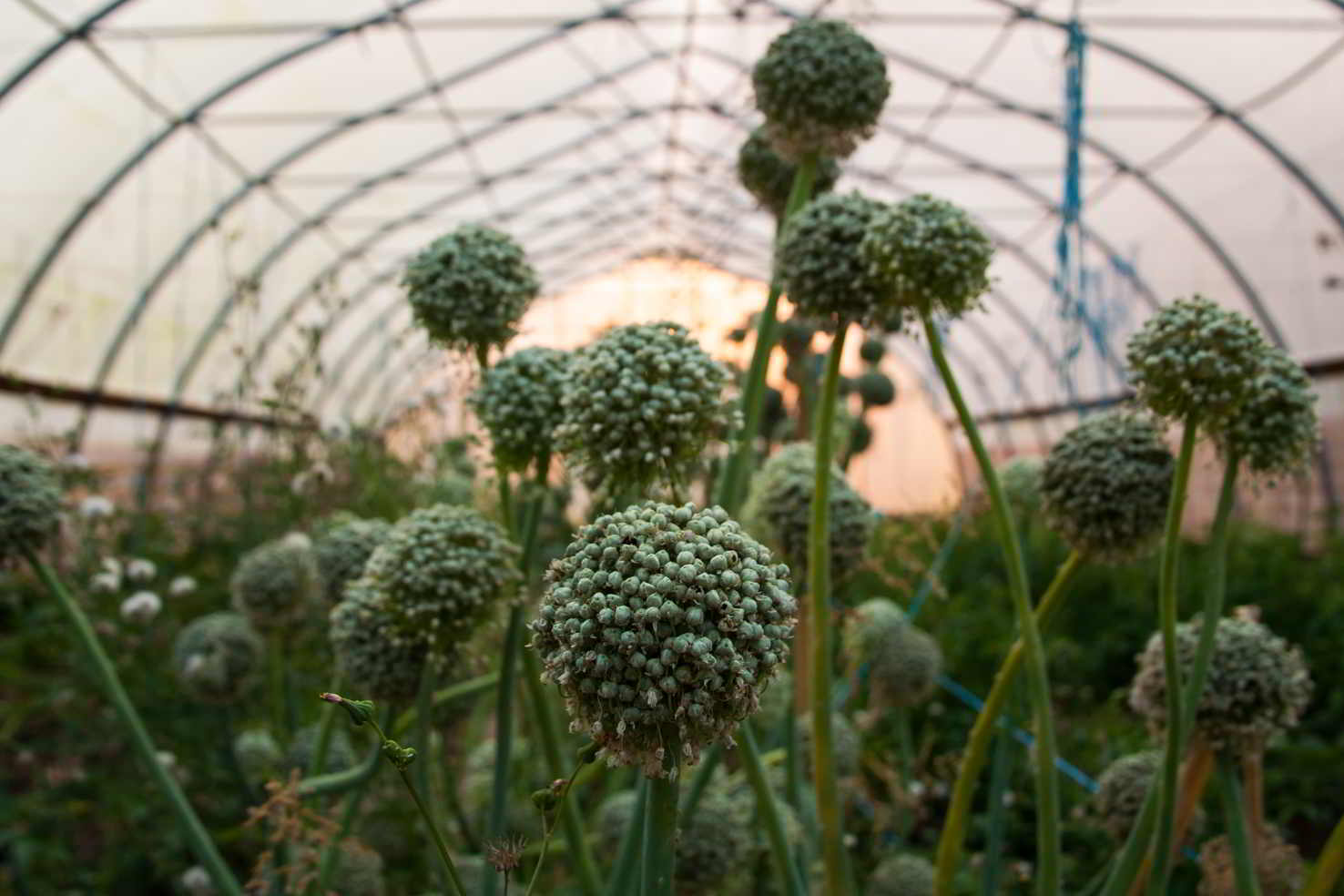 Leek seed heads at Amara Farm, Comox Valley, BC. Credit: Michelle Root