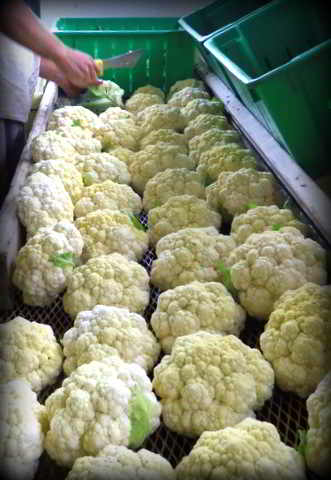 Washing and preparing cauliflower for market at Wild Flight Farm.
