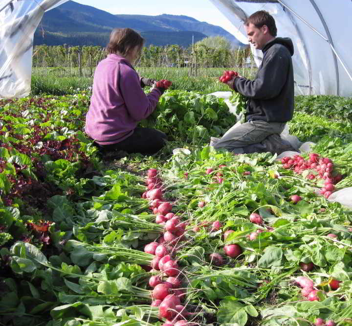 Harvesting and bunching radishes.