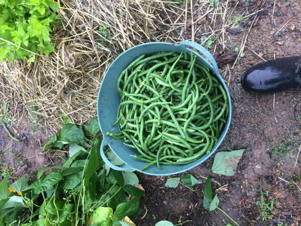 Cowichan Green Community Farm Job beans