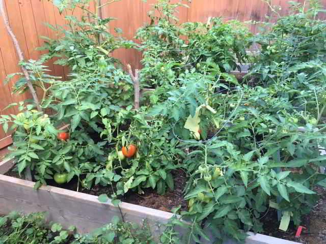Okanagan Food Policy - tomato plants