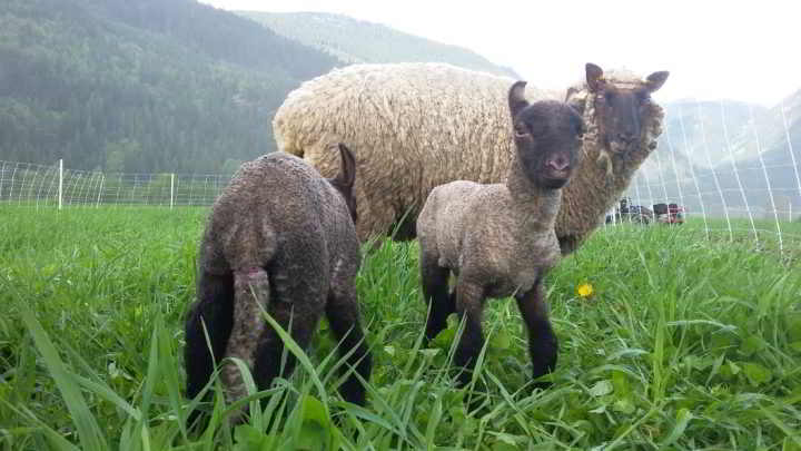 plenty-wild-lambs