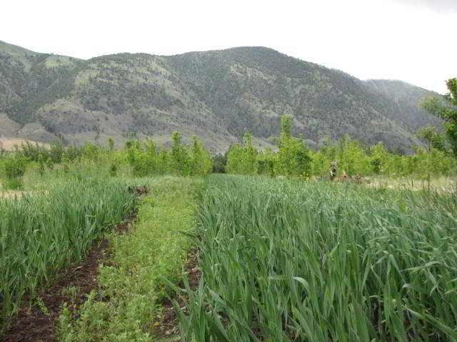 Garlic at Snowy Mountain Farm
