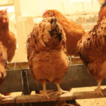 CHANGE OF DATE May 16 & 17: Small Flock Poultry Workshops