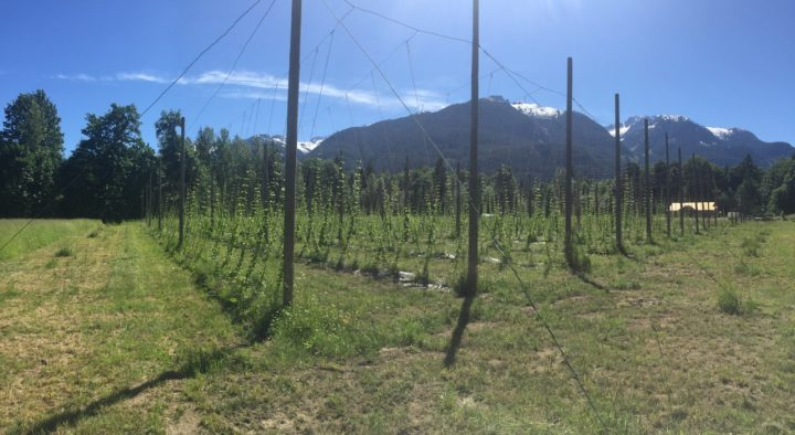Hop plants growing on Squamish Valley Hop Farm