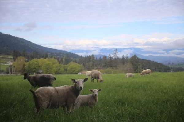 grassy sheep