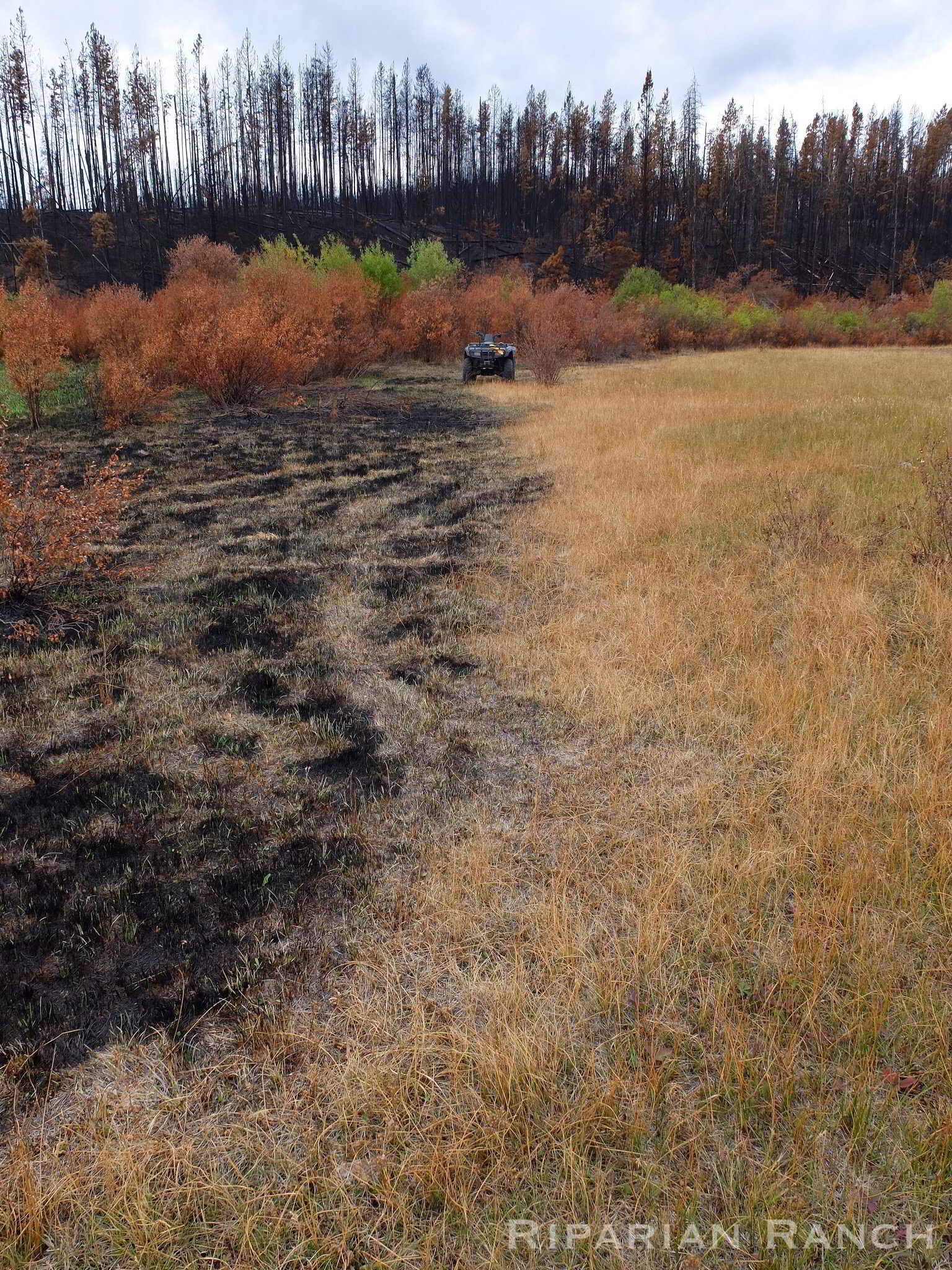 Rotationally grazed field with green plants on right and burned plants on left due to wildfires