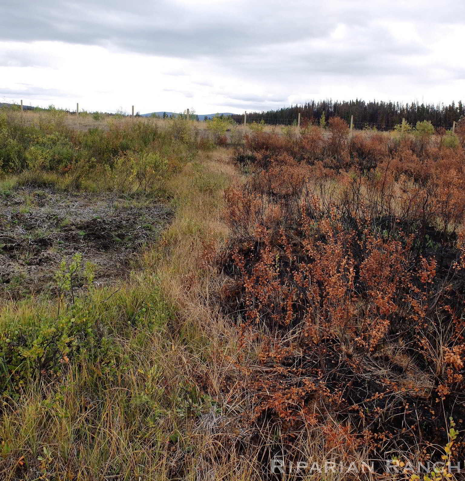 Rotationally grazed field with green plants on left and burned plants on right due to wildfires