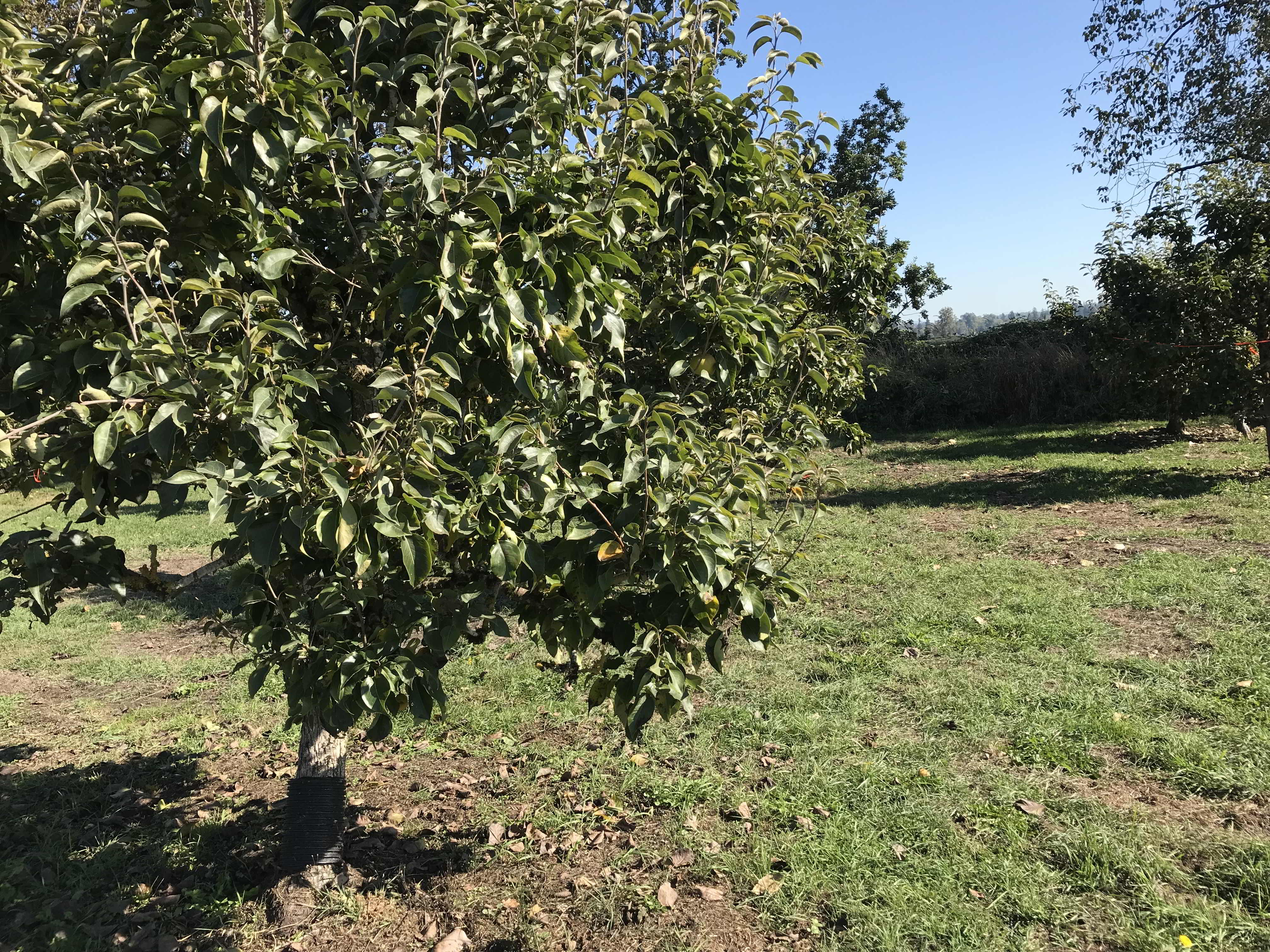 Asian pear tree at Surrey land matching opportunity