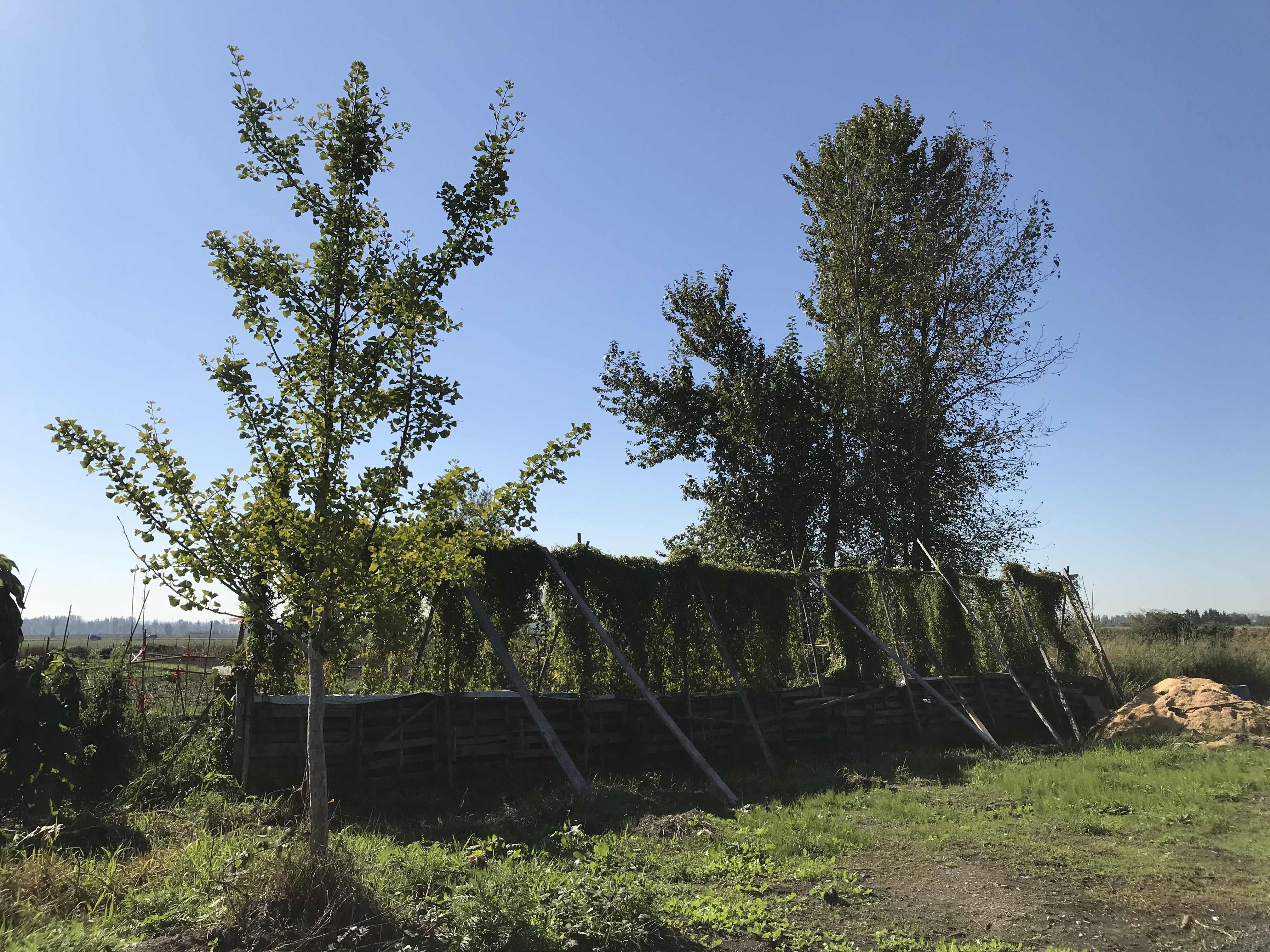 Japanese yam growing up trellises on Surrey land opportunity