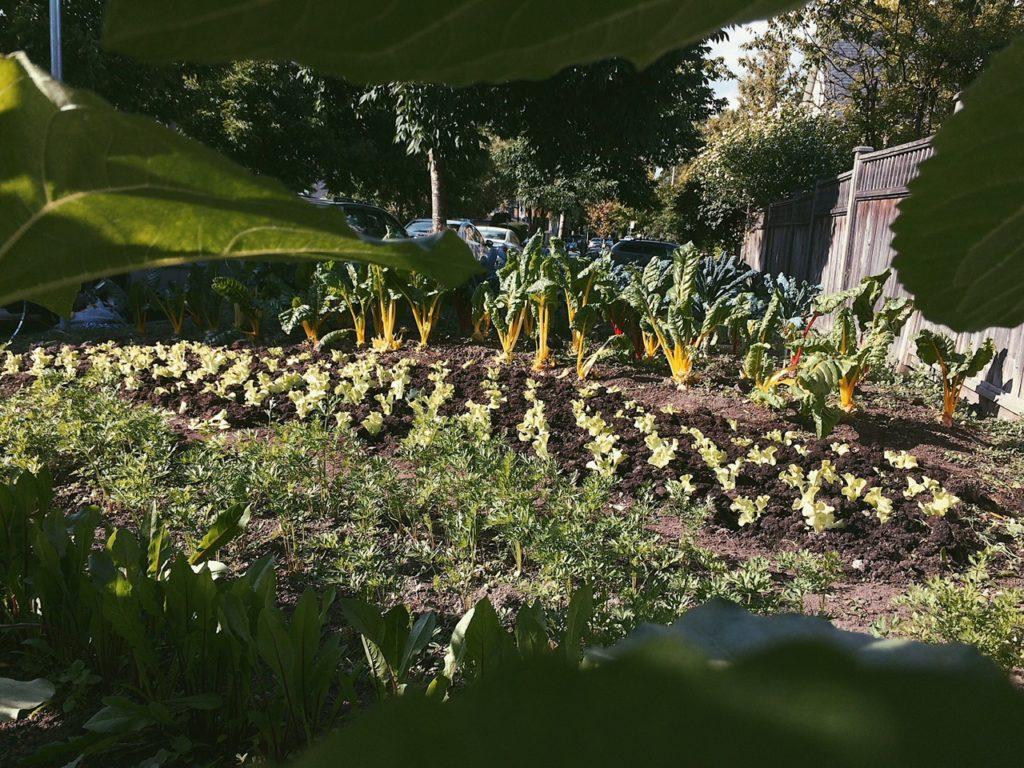 City Beet Farm Chard Plot