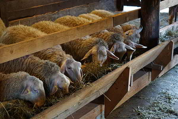 Glenora Farm sheep
