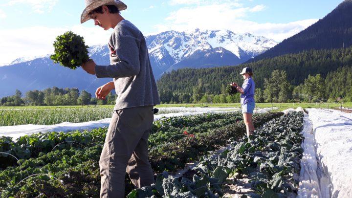 Plenty Wild Farms Harvesting Kale