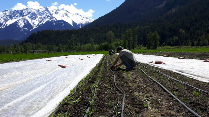 Plenty Wild Farms Weeding Carrots