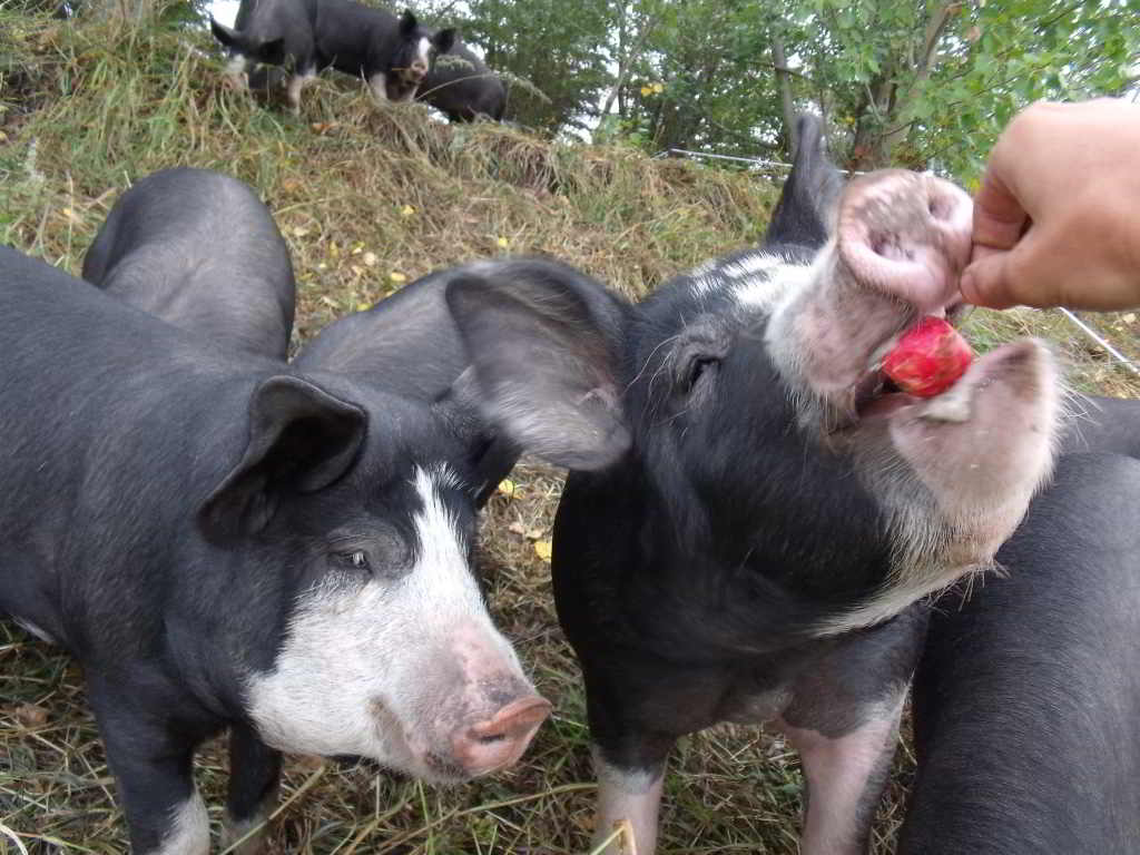 Grass Roots Family Farm_Pigs