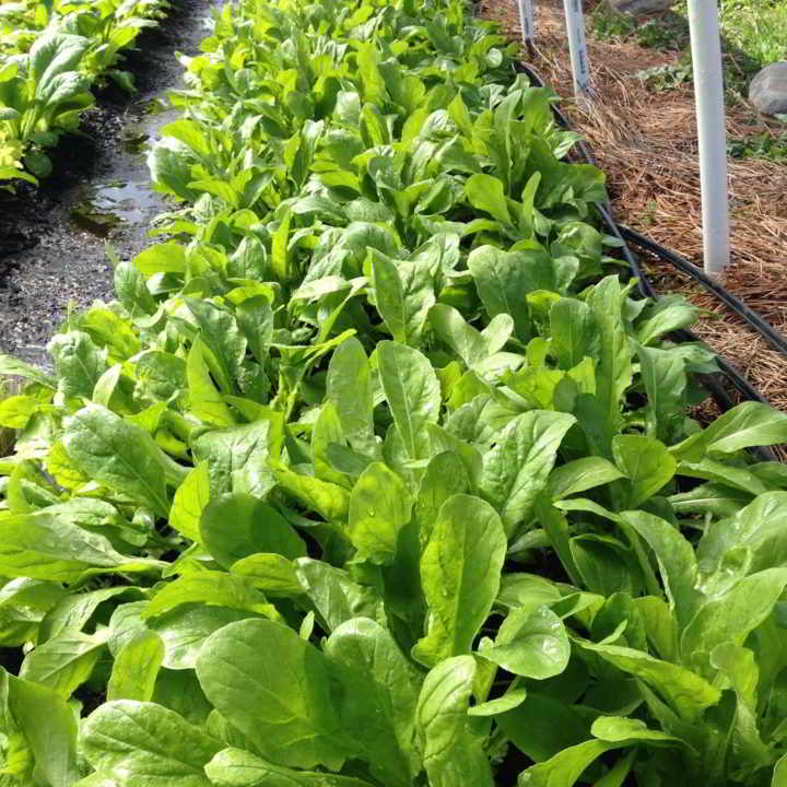 bright green arugula from business mentorship network farmer Lightfoot farm