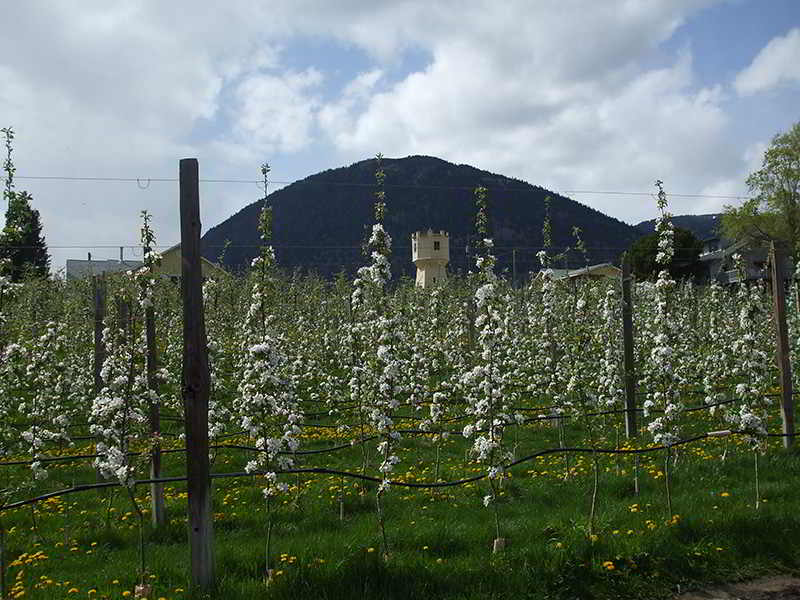 Old Tower Farm Apple Blossom