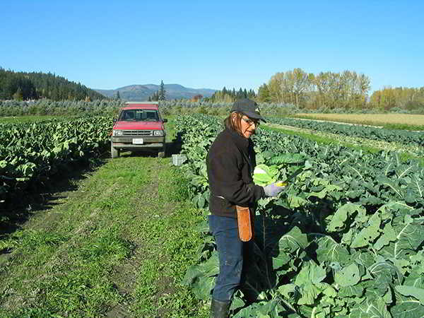 West Enderby Farm Cauliflower Harvest