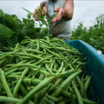 FARM JOB: KINGSTON, ON – Root Radical CSA Organic Farm Worker