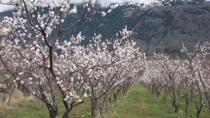Snowy Mtn Farm orchard in flower