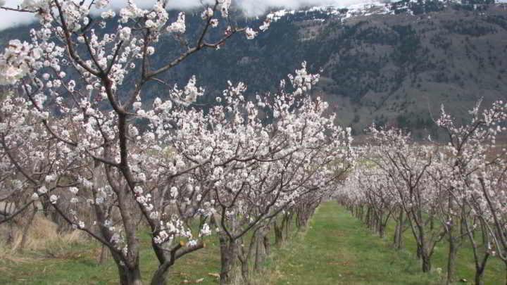 Snowy Mtn Farm orchard in flower