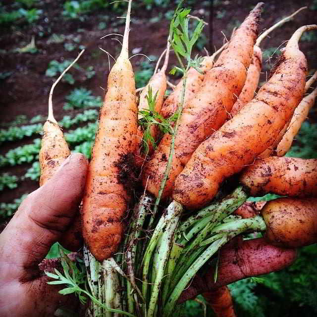 Carrots - WorkSafeBC create new class of small-scale vegetable farming