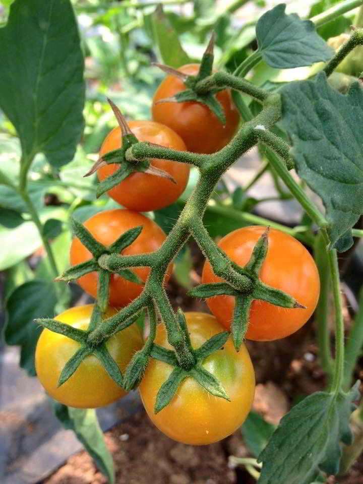 Cherry tomatoes - WorkSafeBC create new class of small-scale vegetable farming