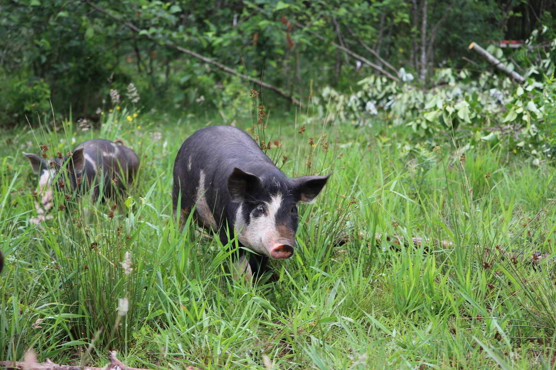 Lost Savanna Farm pig in June