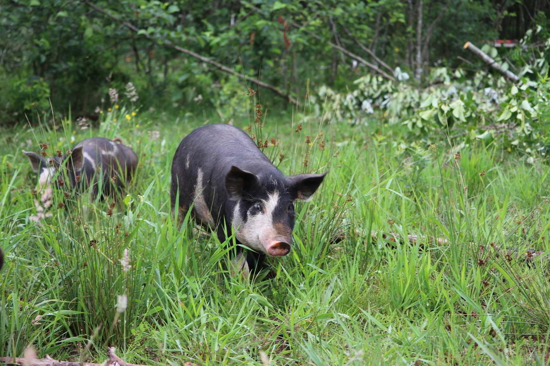 Lost Savanna Farm pig in June