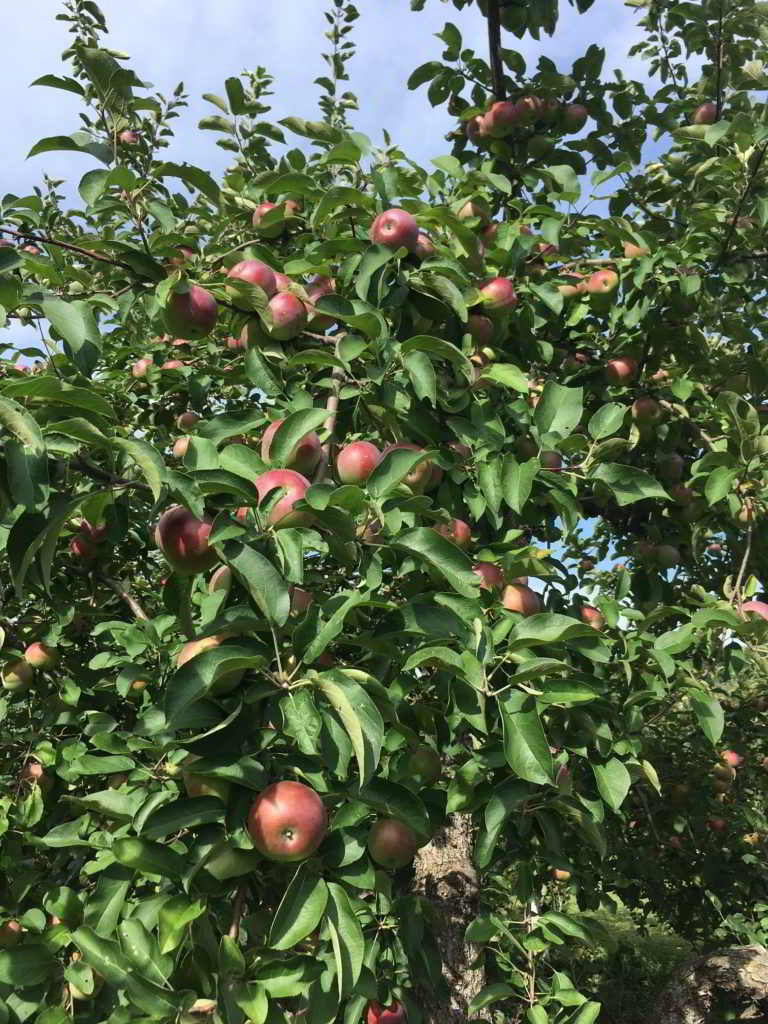 Regeneration Canada - apples