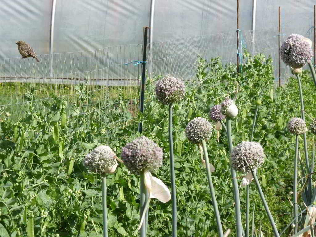Saanich Organics flowering leeks