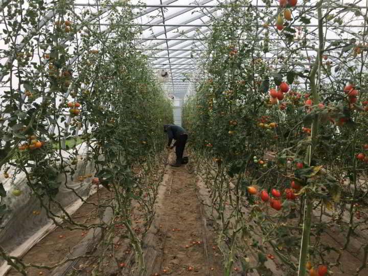 Plenty Wild Harvesting Tomatoes